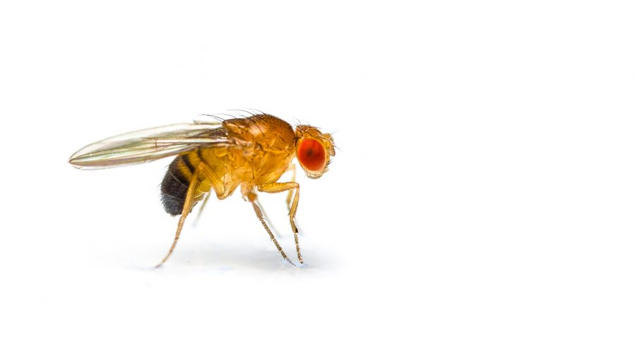 The Seasonal Fruit Fly Epidemic – and how to oust them from your office!